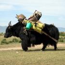 black_yak
