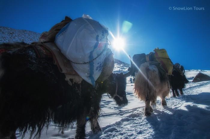 Яки, везущие вещи паломников, на перевале Долма ла, Кайлас